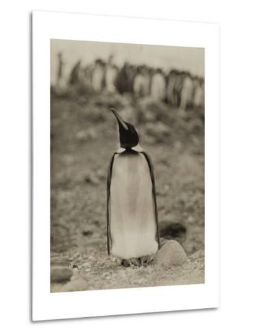 A Prospective Parent Penguin Shows Off its Superior Attitude-Robert Cushman Murphy-Metal Print