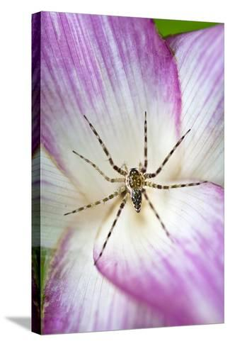 A Tiny Spider Inside Bright Pink Petals Waits to Ambush Prey Attracted to the Flower-Jason Edwards-Stretched Canvas Print