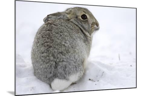 Portrait of a Desert Cottontail Rabbit, Sylvilagus Audubonii, Sitting in Snow-Michael Forsberg-Mounted Photographic Print