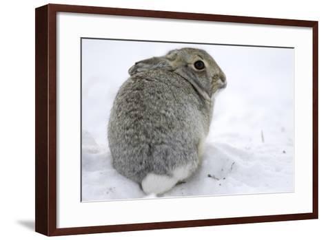 Portrait of a Desert Cottontail Rabbit, Sylvilagus Audubonii, Sitting in Snow-Michael Forsberg-Framed Art Print