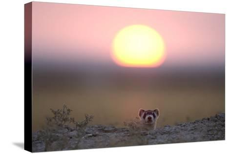A Black-Footed Ferret, Mustela Nigripes, Peering from its Burrow at Sunset-Michael Forsberg-Stretched Canvas Print