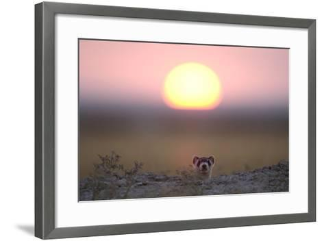 A Black-Footed Ferret, Mustela Nigripes, Peering from its Burrow at Sunset-Michael Forsberg-Framed Art Print