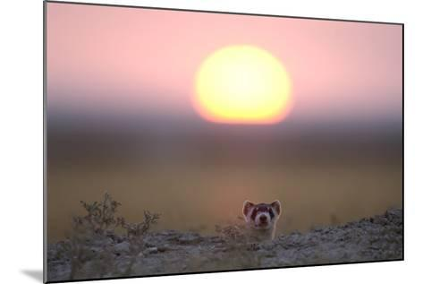 A Black-Footed Ferret, Mustela Nigripes, Peering from its Burrow at Sunset-Michael Forsberg-Mounted Photographic Print