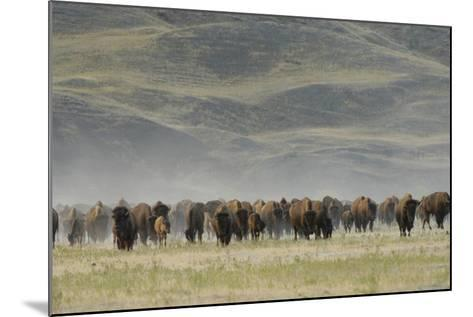 A Herd of American Bison, Bison Bison, in a Hilly Grassland Landscape-Michael Forsberg-Mounted Photographic Print