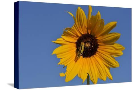 A Two-Striped Grasshopper on a Plains Sunflower-Michael Forsberg-Stretched Canvas Print
