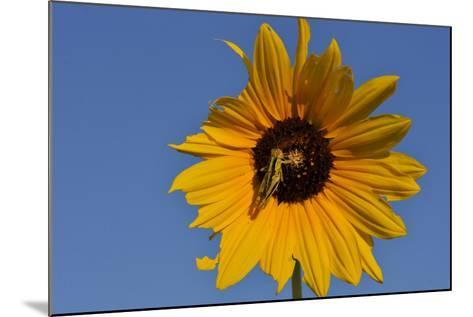 A Two-Striped Grasshopper on a Plains Sunflower-Michael Forsberg-Mounted Photographic Print