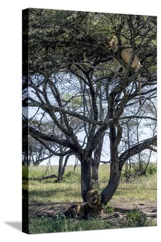 An African Lioness in Estrus Sleeps in a Tree to Avoid Insects and the Attentions of the Male-Jason Edwards-Stretched Canvas Print