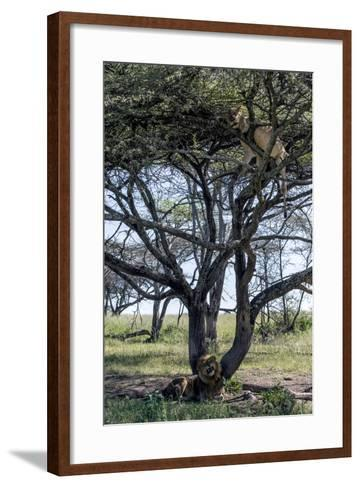 An African Lioness in Estrus Sleeps in a Tree to Avoid Insects and the Attentions of the Male-Jason Edwards-Framed Art Print