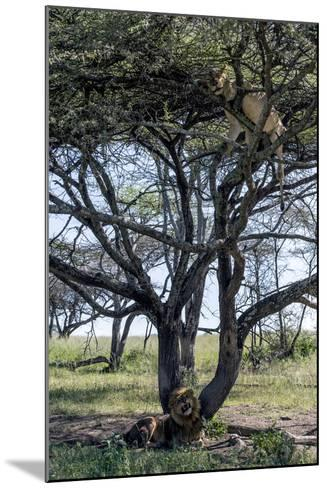 An African Lioness in Estrus Sleeps in a Tree to Avoid Insects and the Attentions of the Male-Jason Edwards-Mounted Photographic Print