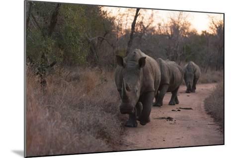 Three White Rhinoceros, Ceratotherium Simum, Walking in a Line at Dusk-Sergio Pitamitz-Mounted Photographic Print