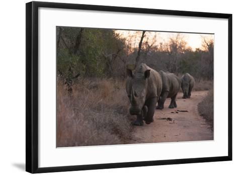 Three White Rhinoceros, Ceratotherium Simum, Walking in a Line at Dusk-Sergio Pitamitz-Framed Art Print