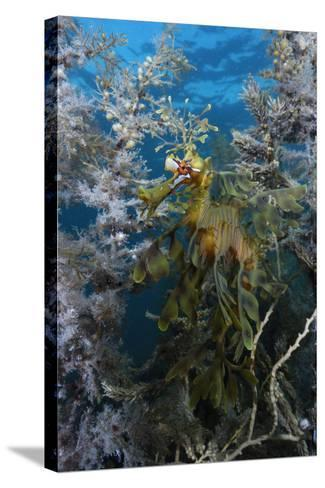 A Leafy Seadragon, Phycodurus Eques, Hiding Among Seaweeds-Jeff Wildermuth-Stretched Canvas Print