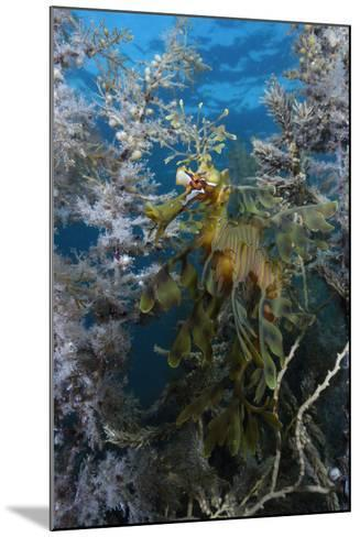 A Leafy Seadragon, Phycodurus Eques, Hiding Among Seaweeds-Jeff Wildermuth-Mounted Photographic Print