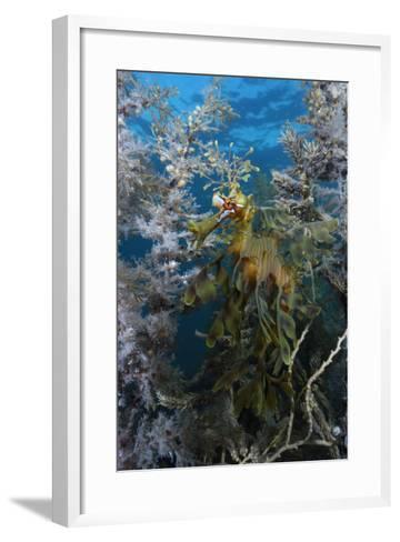 A Leafy Seadragon, Phycodurus Eques, Hiding Among Seaweeds-Jeff Wildermuth-Framed Art Print