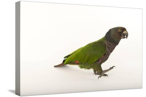 An Endangered Imperial Parrot at the Rare Species Conservatory Foundation, One of Two in Captivity-Joel Sartore-Stretched Canvas Print