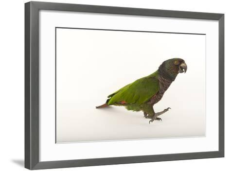 An Endangered Imperial Parrot at the Rare Species Conservatory Foundation, One of Two in Captivity-Joel Sartore-Framed Art Print
