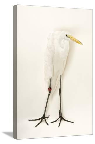 A Great Egret, Ardea Alba, at the Caldwell Zoo-Joel Sartore-Stretched Canvas Print