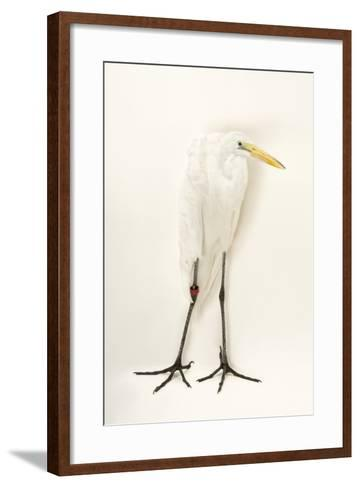 A Great Egret, Ardea Alba, at the Caldwell Zoo-Joel Sartore-Framed Art Print
