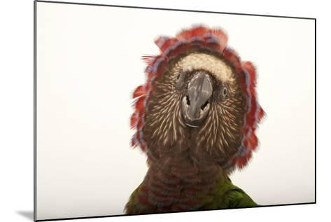 A Hawk-Headed Parrot, Deroptyus Accipitrinus-Joel Sartore-Mounted Photographic Print