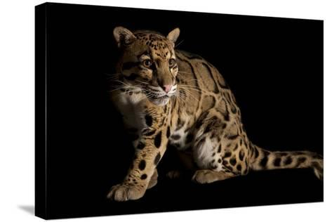 A Federally Endangered Clouded Leopard, Neofelis Nebulosa-Joel Sartore-Stretched Canvas Print