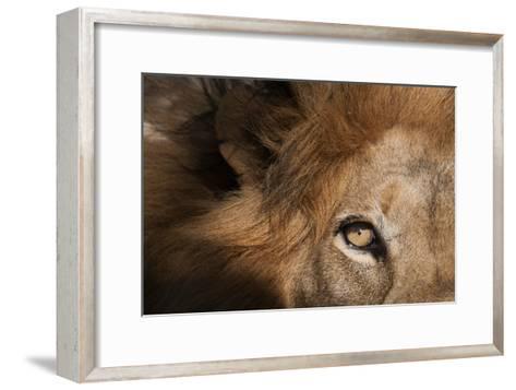Close Up of a Male Lion's Eye, Panthera Leo-Sergio Pitamitz-Framed Art Print