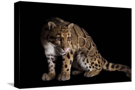 A Clouded Leopard, Neofelis Nebulosa-Joel Sartore-Stretched Canvas Print