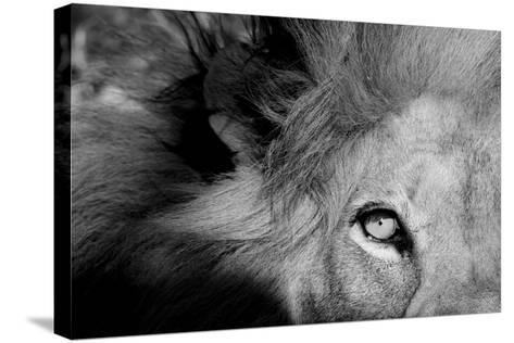 Close Up of the Eye of a Male Lion, Panthera Leo-Sergio Pitamitz-Stretched Canvas Print