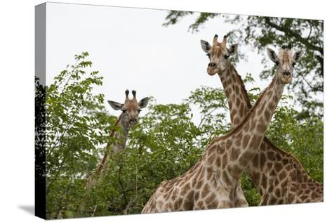 A Portrait of Three Female Southern Giraffes, Giraffa Camelopardalis, Looking at the Camera-Sergio Pitamitz-Stretched Canvas Print