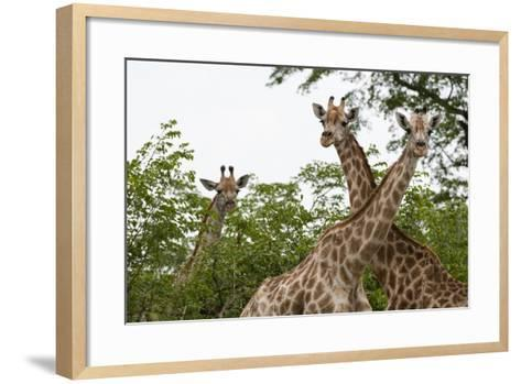 A Portrait of Three Female Southern Giraffes, Giraffa Camelopardalis, Looking at the Camera-Sergio Pitamitz-Framed Art Print
