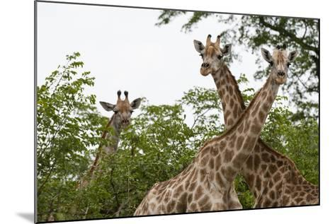 A Portrait of Three Female Southern Giraffes, Giraffa Camelopardalis, Looking at the Camera-Sergio Pitamitz-Mounted Photographic Print