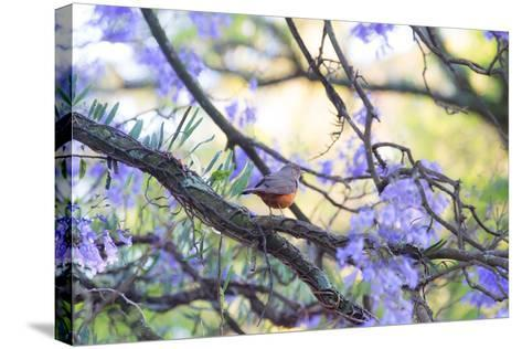 A Rufous Bellied Thrush, Turdus Rufiventris, on a Jacaranda Tree Branch in Ibirapuera Park-Alex Saberi-Stretched Canvas Print