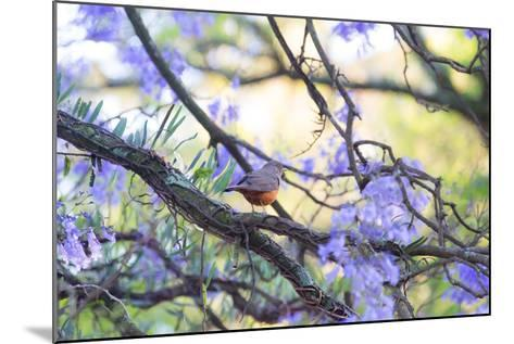 A Rufous Bellied Thrush, Turdus Rufiventris, on a Jacaranda Tree Branch in Ibirapuera Park-Alex Saberi-Mounted Photographic Print