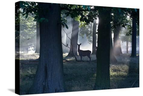 A Red Deer Doe and a Crow Wait in a Misty Forest in Richmond Park-Alex Saberi-Stretched Canvas Print
