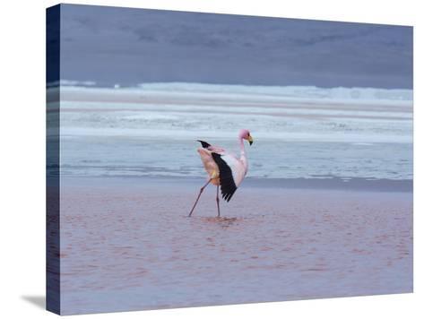 A James' Flamingos Stretches its Legs in the Laguna Colorada-Alex Saberi-Stretched Canvas Print