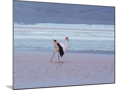 A James' Flamingos Stretches its Legs in the Laguna Colorada-Alex Saberi-Mounted Photographic Print
