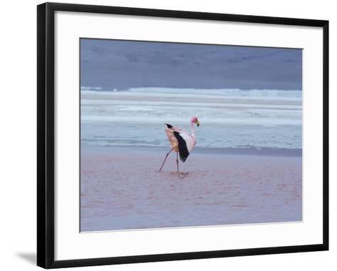 A James' Flamingos Stretches its Legs in the Laguna Colorada-Alex Saberi-Framed Art Print