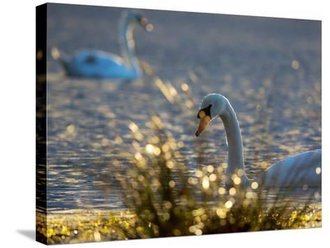 Two Swans Swim on a Pond in Richmond Park on a Sunny Morning-Alex Saberi-Stretched Canvas Print