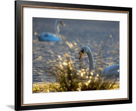 Two Swans Swim on a Pond in Richmond Park on a Sunny Morning-Alex Saberi-Framed Art Print