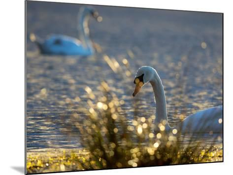 Two Swans Swim on a Pond in Richmond Park on a Sunny Morning-Alex Saberi-Mounted Photographic Print