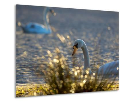 Two Swans Swim on a Pond in Richmond Park on a Sunny Morning-Alex Saberi-Metal Print