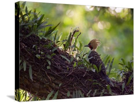 A Blond-Crested Woodpecker, Celeus Flavescens, Sits on a Branch at Sunset in Ibirapuera Park-Alex Saberi-Stretched Canvas Print
