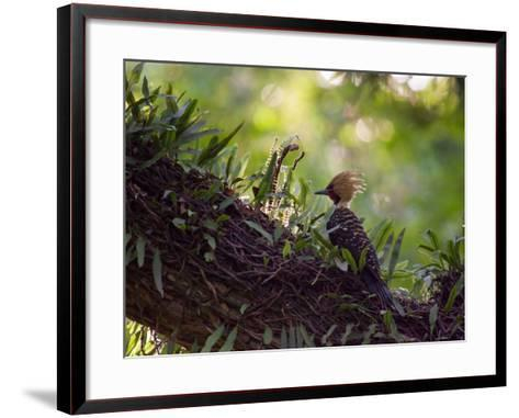A Blond-Crested Woodpecker, Celeus Flavescens, Sits on a Branch at Sunset in Ibirapuera Park-Alex Saberi-Framed Art Print