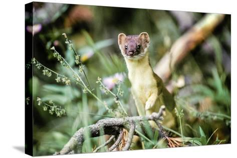 A Long Tailed Weasel in its Brown and Tan Summer Coat-Tom Murphy-Stretched Canvas Print