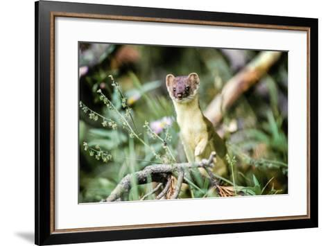 A Long Tailed Weasel in its Brown and Tan Summer Coat-Tom Murphy-Framed Art Print