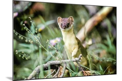 A Long Tailed Weasel in its Brown and Tan Summer Coat-Tom Murphy-Mounted Photographic Print