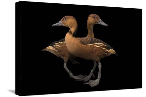 Two Fulvous Whistling Ducks, Dendrocygna Bicolor, at the Living Desert in Palm Desert, California-Joel Sartore-Stretched Canvas Print