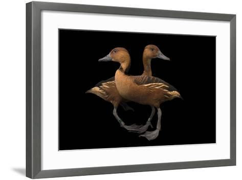 Two Fulvous Whistling Ducks, Dendrocygna Bicolor, at the Living Desert in Palm Desert, California-Joel Sartore-Framed Art Print