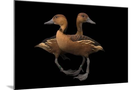Two Fulvous Whistling Ducks, Dendrocygna Bicolor, at the Living Desert in Palm Desert, California-Joel Sartore-Mounted Photographic Print