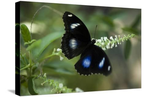 A Great Egg-Fly Butterfly, Hypolimnas Bolina, in the Butterfly Garden-Joel Sartore-Stretched Canvas Print
