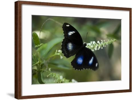 A Great Egg-Fly Butterfly, Hypolimnas Bolina, in the Butterfly Garden-Joel Sartore-Framed Art Print
